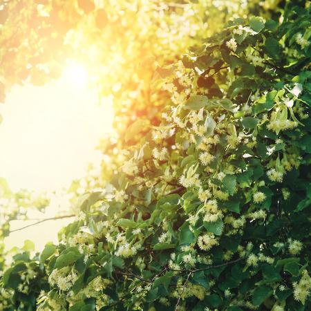 tilo: Árbol de flor de tilo