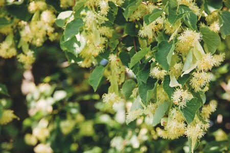 linden blossom: Linden Tree blossom