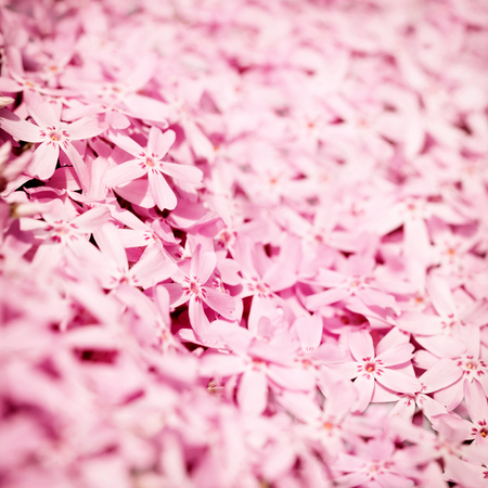 Soft pink flowers Stock Photo
