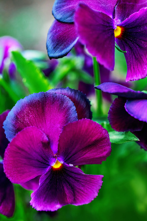 Close-up of beautiful violet purple pansy flowers