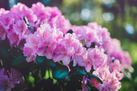 Blooming purple rhododendron