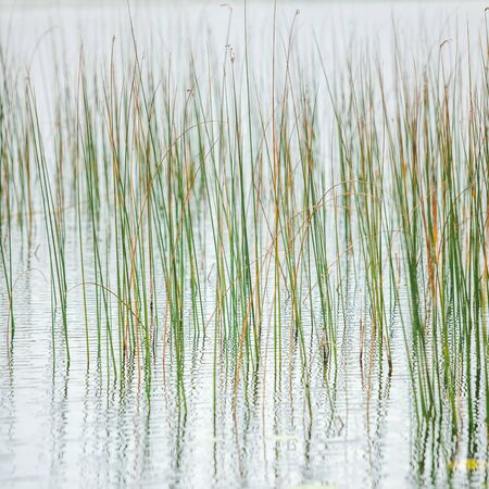 Reeds reflection in the water