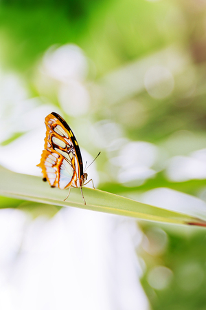 Tropical butterfly sitting on the leaf. Close up image.