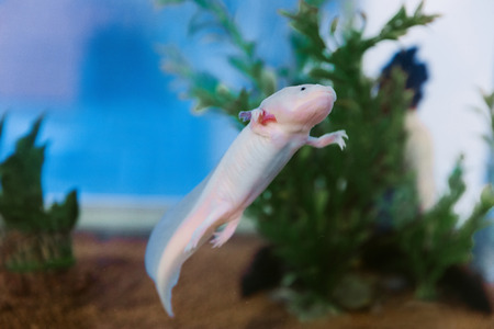 Axolotl (Ambystoma mexicanum) under water, in the aquarium.