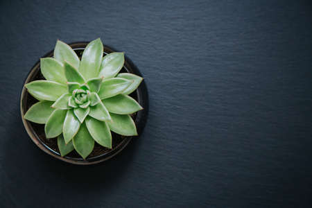 Succulent plant in a pot isolated on dark grey textured background. Top down view.