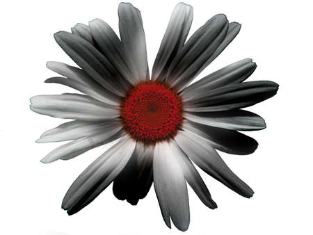 A red daisy with black and white shadowed petals, giving an aggressive face to the flower.