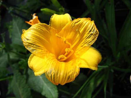 furor: The sunny impressiveness of a freshly opened daylily