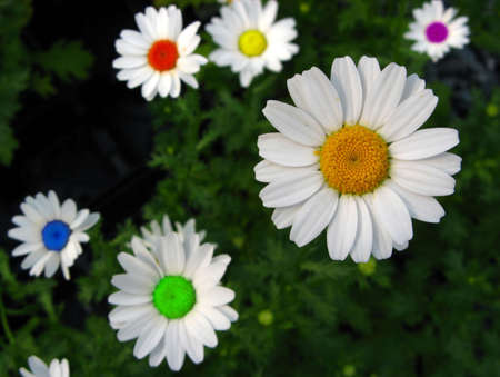 distinctness: A variety of beautiful unique colored daisy.