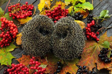 A pair of European Hedgehog, autumn image