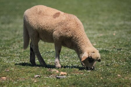 lone sheep eating grass in a meadow