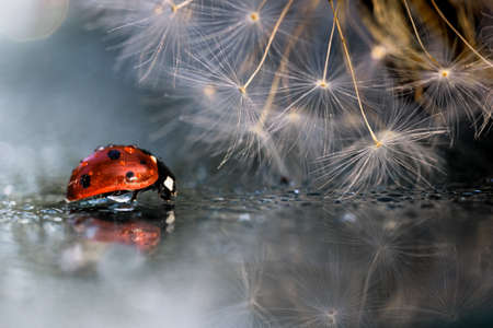 Red ladybug with dandelion reflection on the mirror