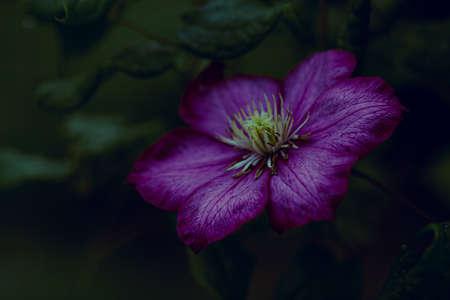 Closeup single clematis flower on dark green background, horizontal orientation, copy space.