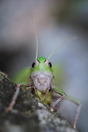 Close up grasshoper face on light grey background Stock Photo
