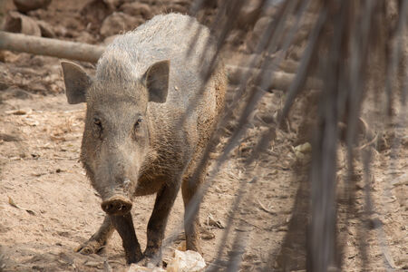 Wild Boar in the evening light in a forest in thailand photo