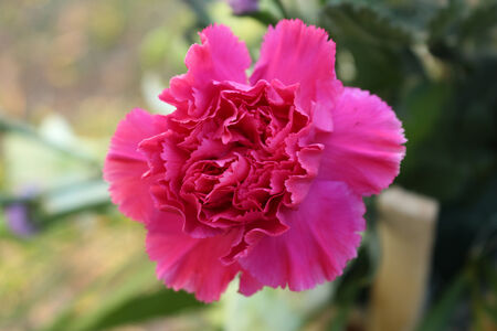 beautiful of blooming  pink carnations photo
