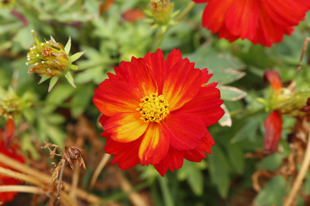 compositae: orange flower ,cosmos sulphureus cav or, compositae, cosmos, mexican aster