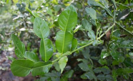 rutaceae: lima kaffir o c�tricos, Rutaceae en el �rbol Foto de archivo