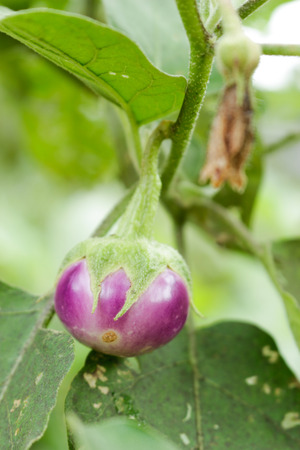 Eggplant on the non-toxic in nature. photo
