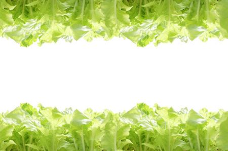白い背景の上の緑の水耕野菜。 写真素材