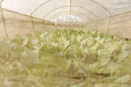 hydroponic: hydroponic vegetable in farm.