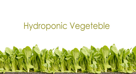 green hydroponic vegetable on white background.