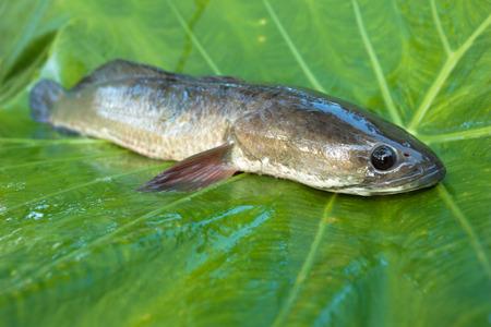 chevron snakehead: Giant snakehead fish on green background.