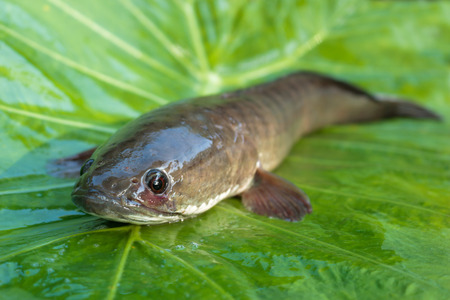 snake head fish: Pesce snakehead gigante su sfondo verde.