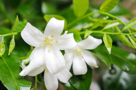 jessamine: Orange Jessamine bloom flower on  natural .
