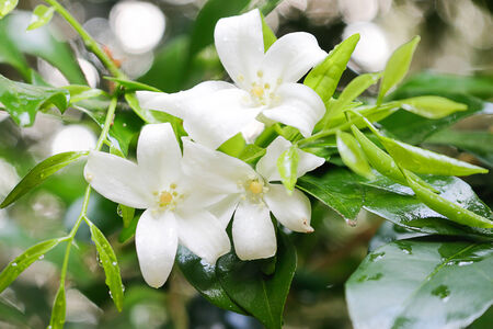 jessamine: Arancione Jessamine fiore fiore naturale.