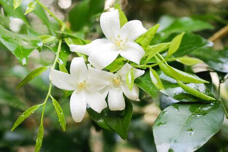philadelphus: Orange Jessamine bloom flower on  natural Stock Photo