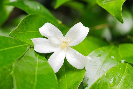 jessamine: Arancione Jessamine fiore fiore naturale