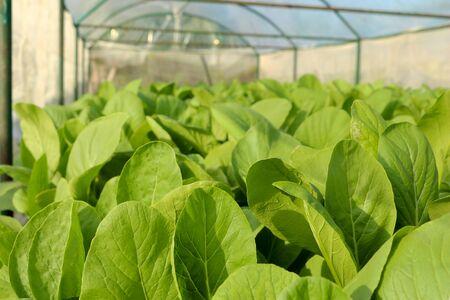 hydroponic: Organic hydroponic vegetable in farm. Stock Photo