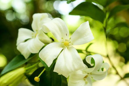jessamine: the orange Jessamine bloom flower.