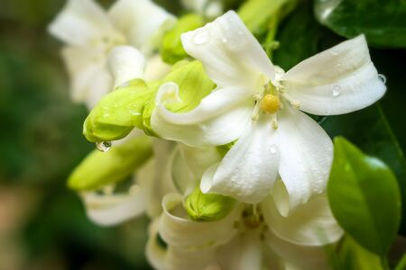 jessamine: Orange Jessamine bloom flower on naturalใ Stock Photo