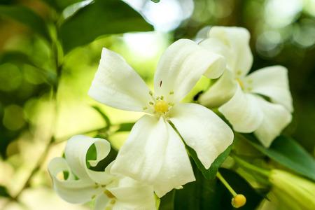 jessamine: arancione Jessamine fiore della fioritura.