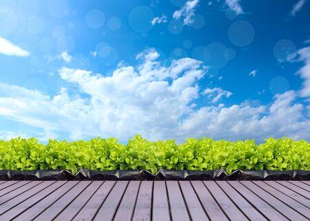 farm: vegetable in farm sky background.