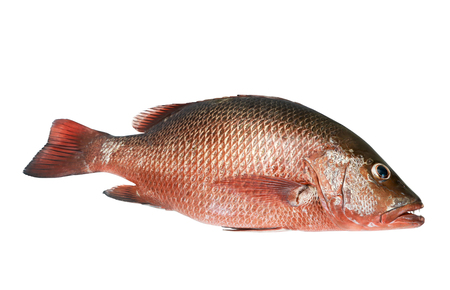 a reddish marine fish that is of commercial value as a food fish, in particular.