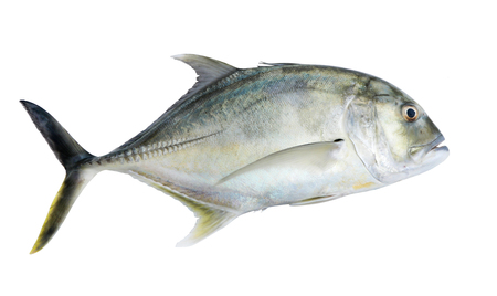 Giant kingfish or  Giant trevally, Lowly trevally on whitebackground.