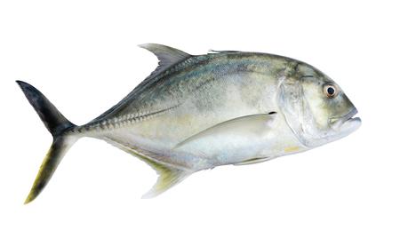 Kingfish géant ou carangue géante, faible carangue sur fond blanc