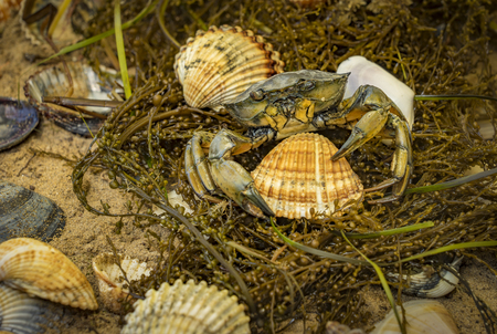 mussel: crab in seashells on the dirty sand background