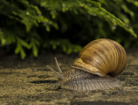 A snail on a stone. Stock Photo