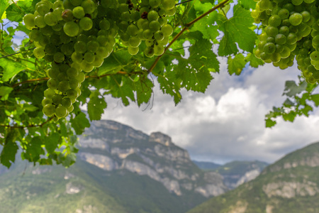 Green wine grape on the mountain background