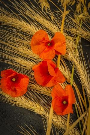 Harvesting Winter Wheat and Red Gossip Poppy.