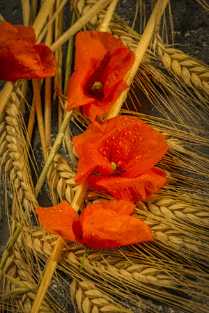 Harvesting Winter Wheat and Red Gossip Poppy.