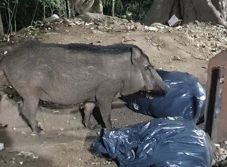 A wild bore eating garbage inside plastic bags in Sabarimala Stock Photo