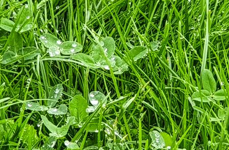 Rain water droplets in green grass and green leaves.