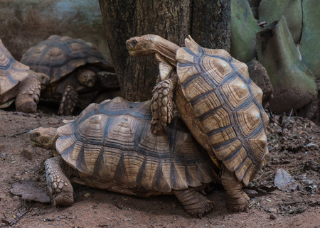 Reproduction of large land giant gray turtles. The breeding season for a pair of adult turtles in the summer in the national park. Mating of turtles