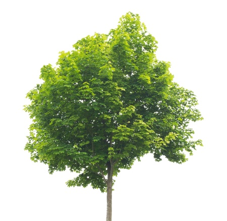 Wonderful green tree on a white background