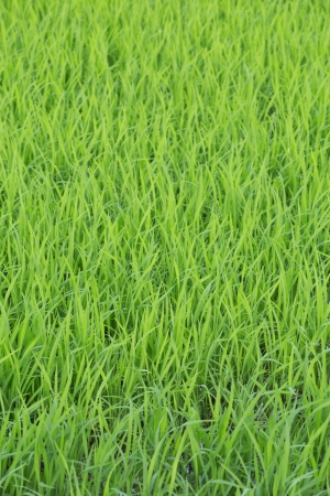 Rice seedlings in the Rice fields photo