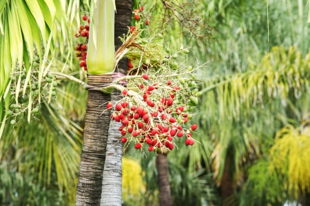 Betel palm,Thailand park photo